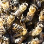 Swarm of bees — Stock Photo #75671535