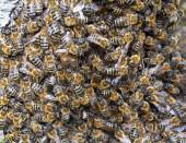 Velký roj včel — Stock fotografie