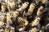 Roj včel — Stock fotografie