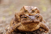 Common toads in the course of the copulation.View from the front — Stock Photo