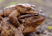 Common toads in the course of the copulation.View from the side — Stock Photo