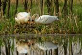 Pair of mute swan by the nest — Stock Photo