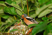 Male chaffinch is feeding chicks in nest — Stock Photo