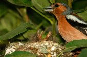 Male chaffinch and chicks in the nest,closeup — Stock Photo