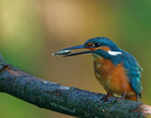 Common Kingfisher tossing the fish before swallowing down — Stock Photo
