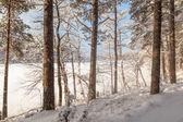 Pine wood on the bank of winter lake — Stock Photo