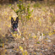 German Shepherd laying down in a field — Stock Photo #69268093
