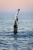 Wave from a humpback whale — Stock Photo