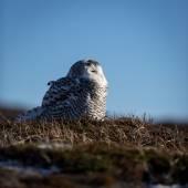 Snowy Owl sitting on the ground — Stock Photo