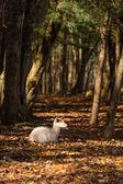 森の中で白いダマジカ — ストック写真