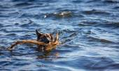 German Shepherd dog fetching a stick in the lake — Stock Photo