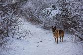 German Shepherd posing along a snow covered path — Stockfoto