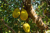 Giant Jackfruits growing in a tree — Stock Photo
