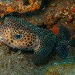 Porcupinefish (Diodon hystrix) — Stock Photo #69087337