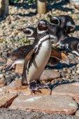 Humble Penguin — Stock Photo