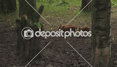 Wild pigs in forest. — Stock Video