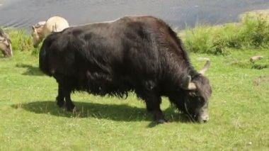 Wild bison eats grass. — Stock Video