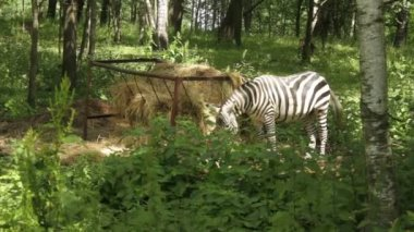 Zebra in forest. — Stock Video