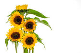 Five sunflower on white background — Stock Photo