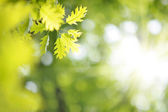Fresh new green leaves glowing in sunlight — Stock Photo