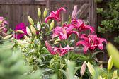 Цветы лилии в листве крупным планом — Стоковое фото