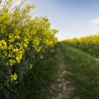 Canola — Stock Photo #73167599