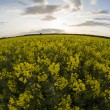 Canola — Stock Photo #73167625