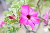 砂漠のバラ — ストック写真