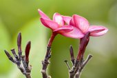 Desert Rose is a bright-colored flowers — Stock Photo