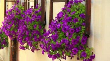 Windows with purple flowers — Stock Video