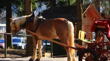 Beige horse in harness — Stock Video