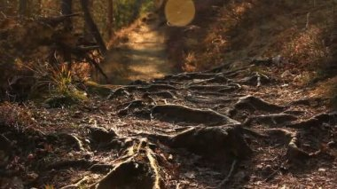 Root system in the forest — Wideo stockowe