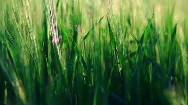 Grass moving in the wind — Stock Video