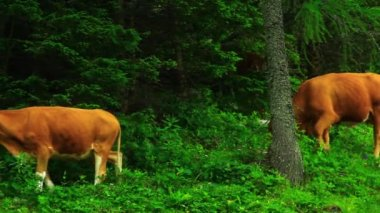 Cows grazing grass — Stock Video