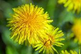 Beautiful spring dandelions — Stock Photo
