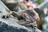 Iguana on a rock — Stock Photo