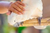 Creamy white cockatoo — Stock Photo