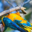 Blue parrot fun upside down — Stock Photo #75492719