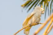 Creamy white cockatoo — Stock Photo