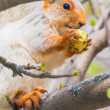Cute gray squirrel sits on a tree and eats an apple — Stock Photo #76499383