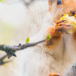 Cute gray squirrel sits on a tree and eats an apple — Stock Photo #76499385