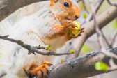 Cute gray squirrel sits on a tree and eats an apple — Stock Photo