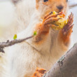 Cute gray squirrel sits on a tree and eats an apple — Stock Photo #76500493