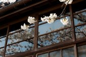 White sakura branch with shadow reflected from windows — Stock Photo