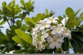Frangipani branch in front of blue sky — Stock Photo