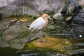 Cattle Egret (Bubulcus ibis) — Fotografia Stock