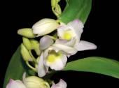 Bloeiende orchidee — Stockfoto