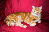 Red cat on a red background. — Stock Photo