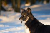 Dog playing outside in the white snow — Foto Stock