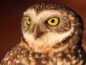 Owl portrait under natural light . — Stock Photo